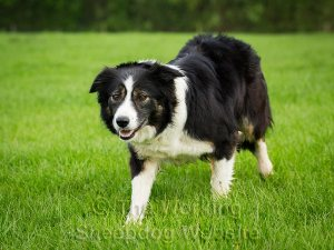 Working sheepdog Carew concentrates on her sheep