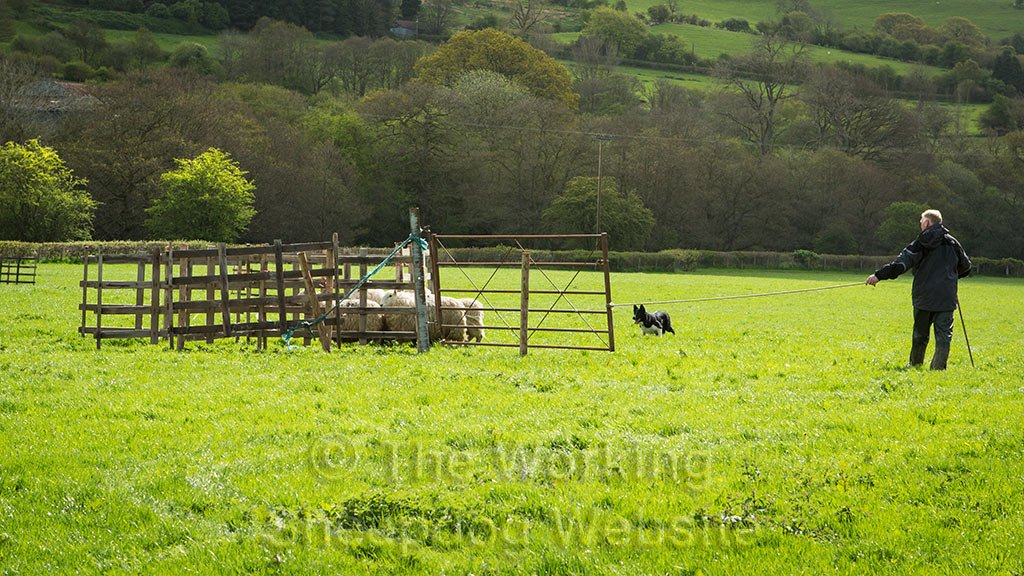 Even Aled Owen's Roy struggled with the sheep, but completed the course in the end