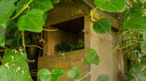 Ivy leaves which have been collected and stored inside a wooden nesting box.