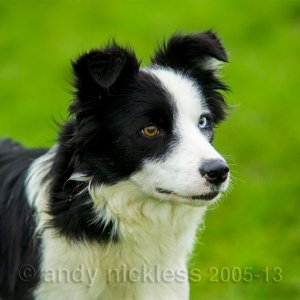 Black and white femail collie with a half-white face and a blue eye