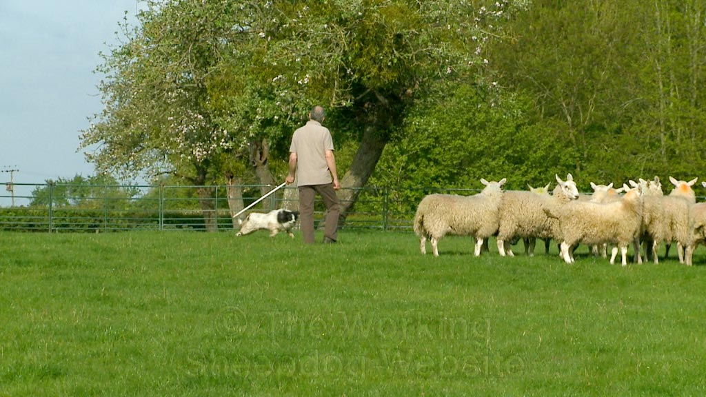 Archie during a recent herding lesson