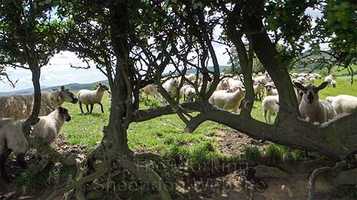 The ewes and lambs escaped by running through an old overgrown hedge