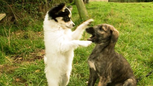 Cute papillon puppy playing with lurcher pup