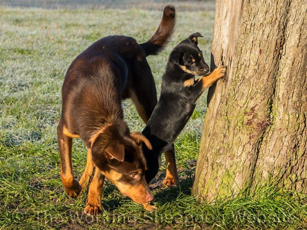 Red and tan and black and tan Australian Kelpies