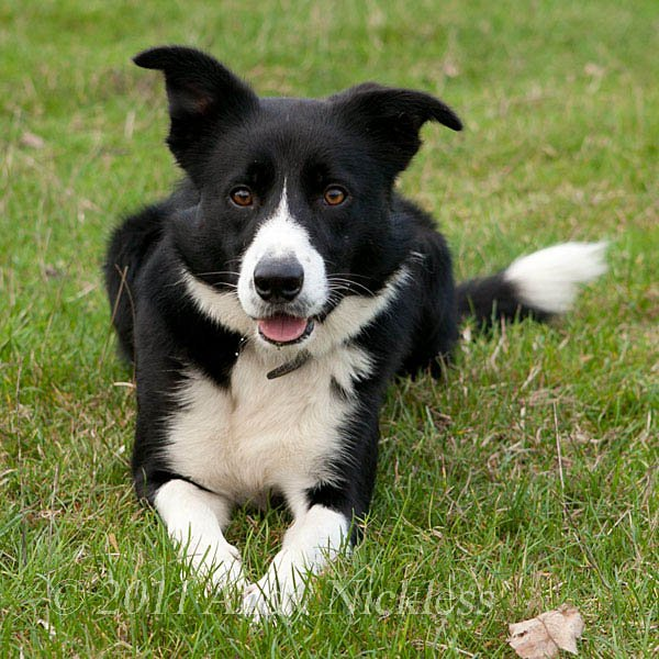 Black and white smooth coated border collie sheepdog