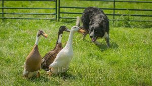 A border collie working with ducks