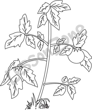 Tomato Labeled Coloring Pages
