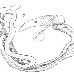 Earthworm Digestive System Diagram Cat Neck Muscles 13 Best Images Of Male Reproductive