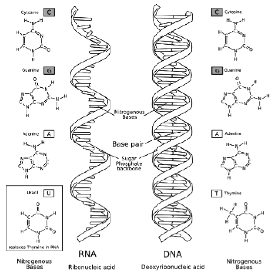 Printable Coloring Page Dna