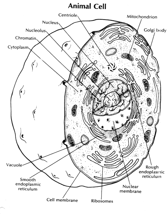 12 Best Images of Animal Cell Coloring Worksheet Answers