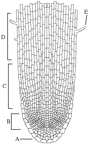 onion cell diagram parts labeled