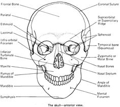 12 Best Images of Skull Anatomy And Physiology Worksheets