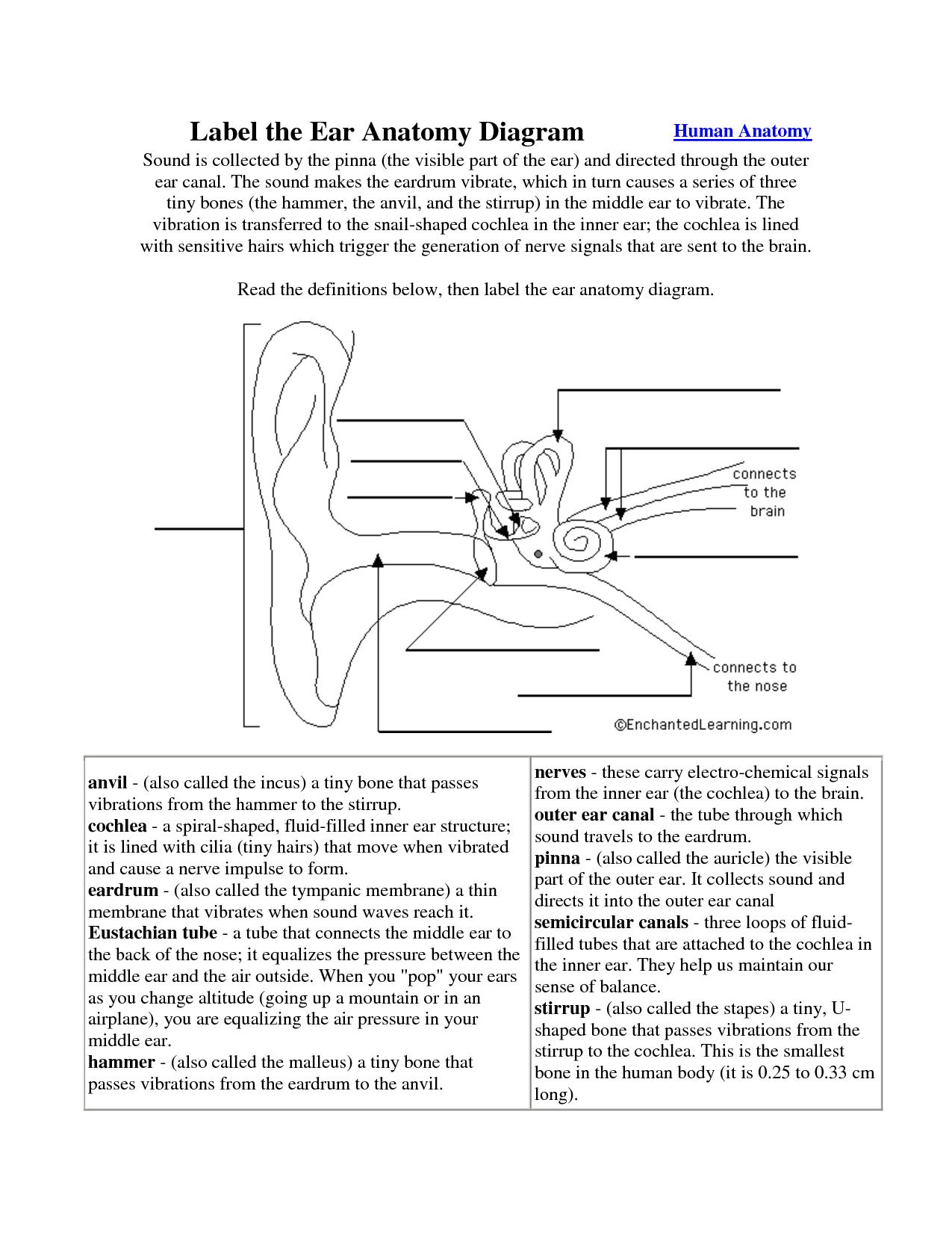 hight resolution of ear anatomy worksheet