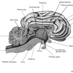 Label Heart Diagram Worksheet Answers 5 Pin Rectifier Wiring 12 Best Images Of Brain Parts - Worksheet, Human And ...
