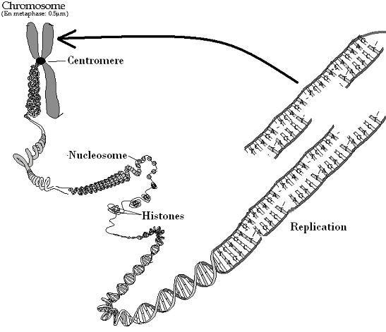 10 Best Images of Chromosome Diagram Worksheet