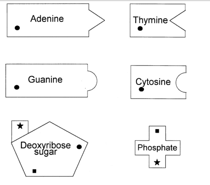 8 Best Images of Protein Synthesis Graphic Organizer