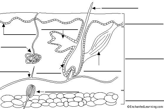 13 Best Images of Integumentary System Worksheets
