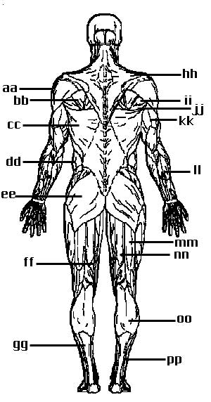 12 Best Images of Muscle Labeling Worksheet Coloring