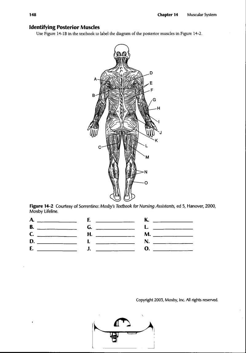 Major Muscle Groups Worksheet. muscle diagram 6th 12th