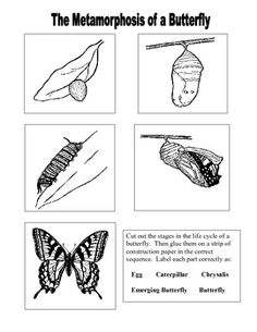 13 Best Images of Butterfly Life Cycle Worksheet Cut And