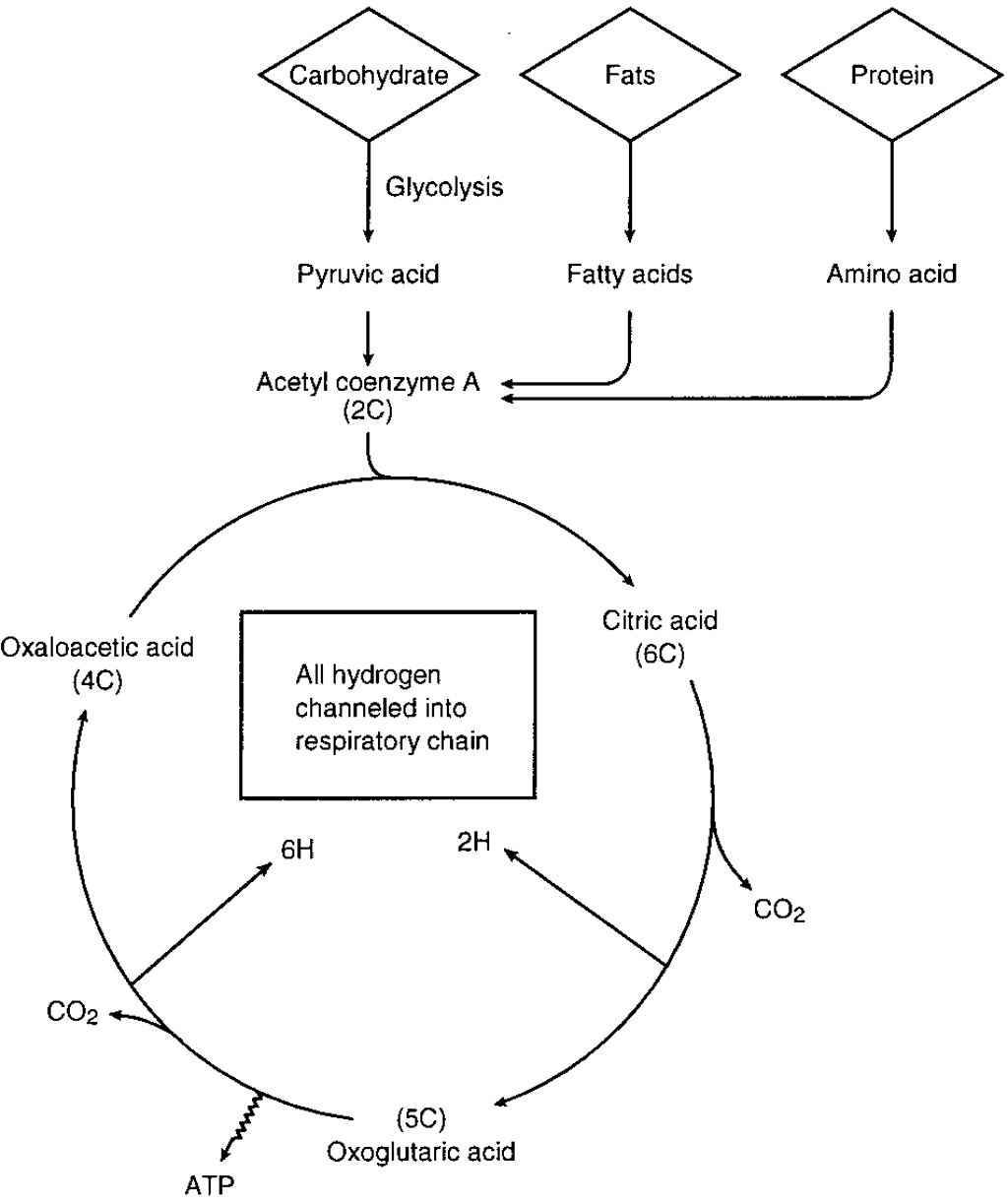 The Glycolysis And Krebs Cycle Worksheet