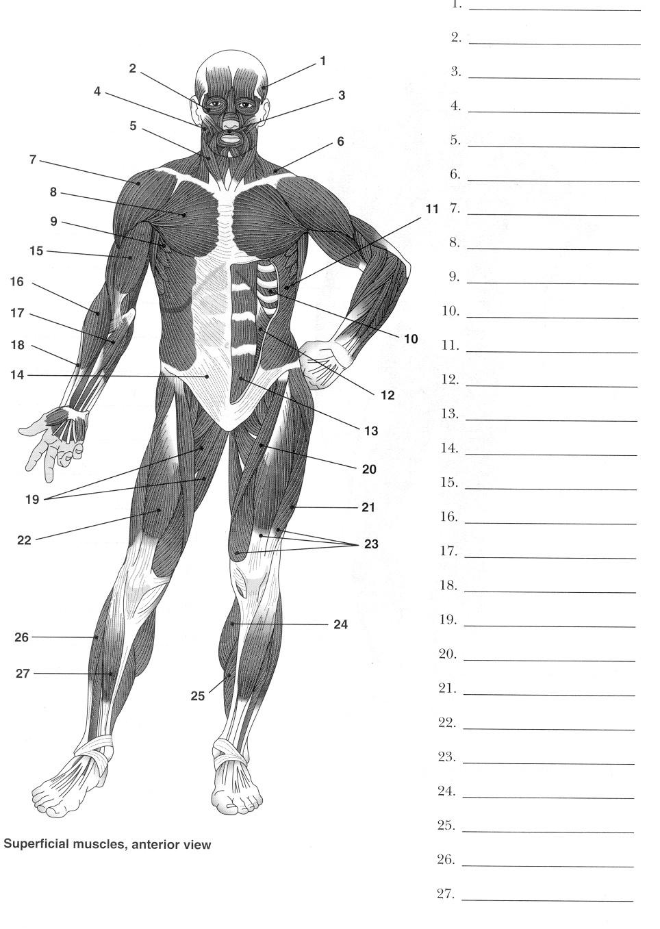 endocrine system diagram minn kota 36 volt trolling motor wiring 16 best images of muscle worksheets for middle school - muscular printable ...