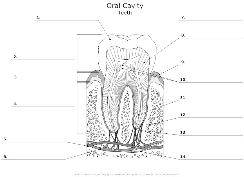 blank ear diagram to label genteq motor wiring of the mouth great installation 9 best images dental anatomy worksheets tooth bat