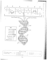16 Best Images of DNA Replication Worksheet - DNA ...