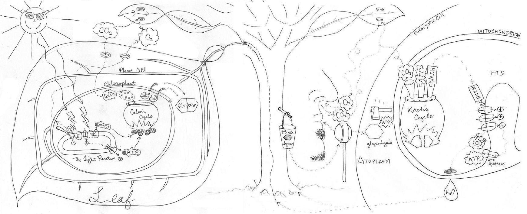 15 Best Images of Photosynthesis Worksheets Coloring Page