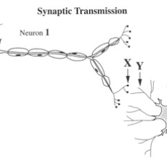 Blank Diagram Of Synapse Towing Socket Wiring 7 Best Images Neuron Label Worksheet - Cell Diagram, ...