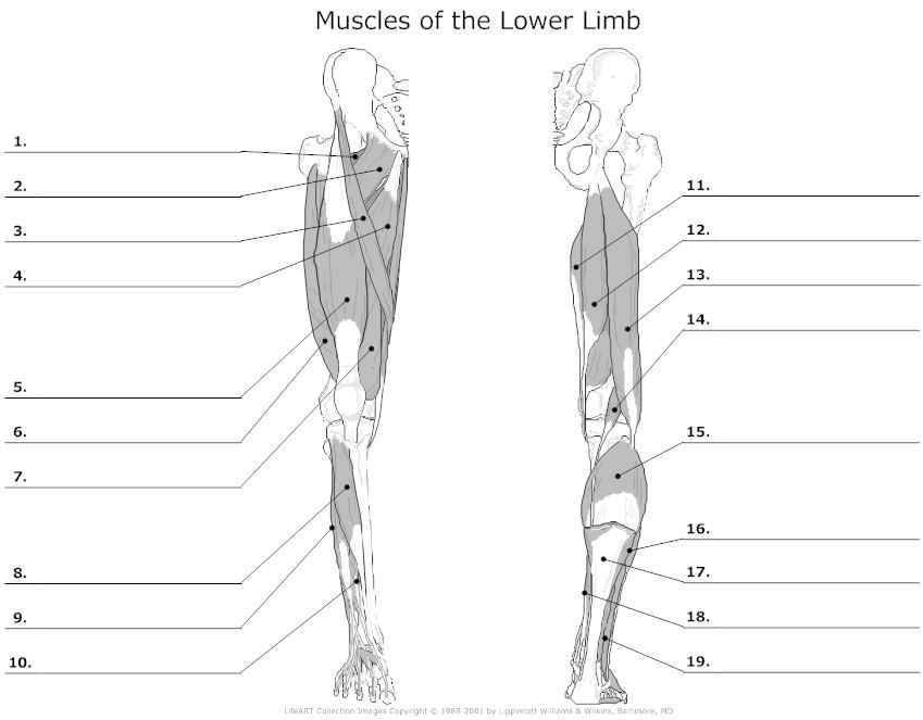 blank human leg diagram