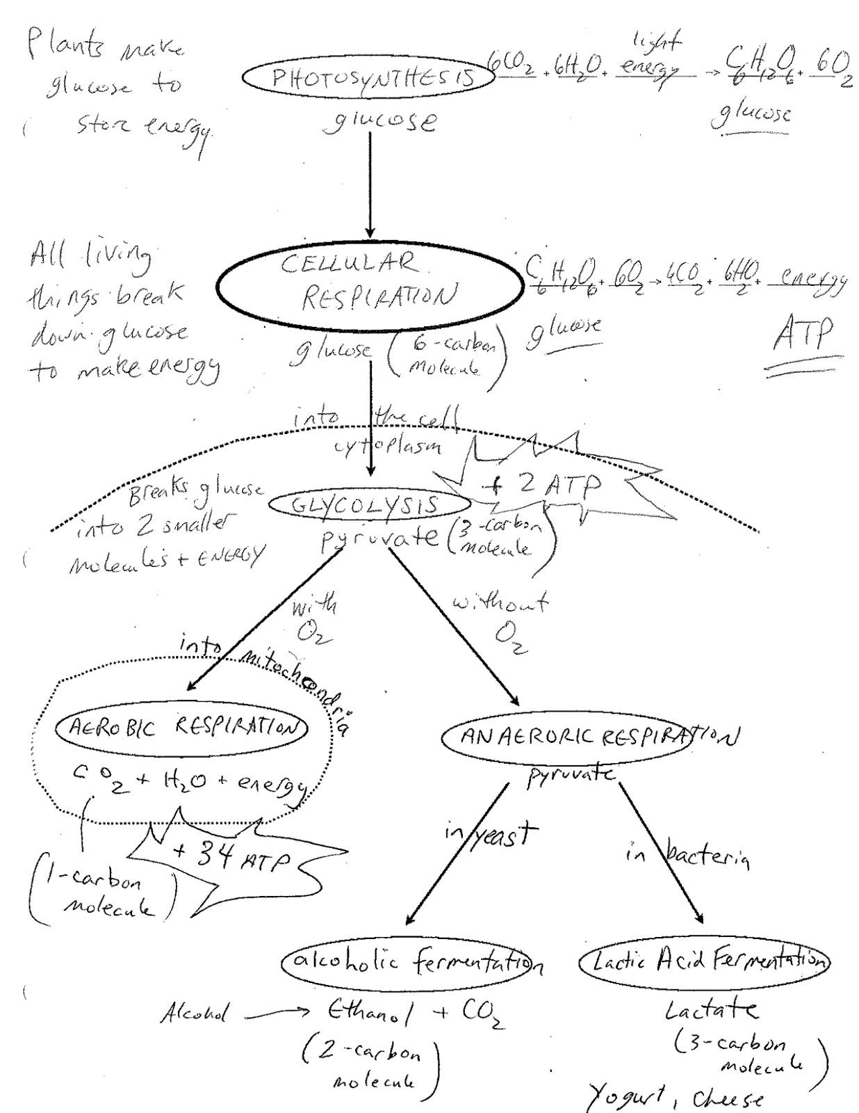 Cellular Respiration Concept Map Worksheet