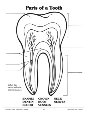10 Best Images of Parts Of The Tooth Worksheet  Tooth