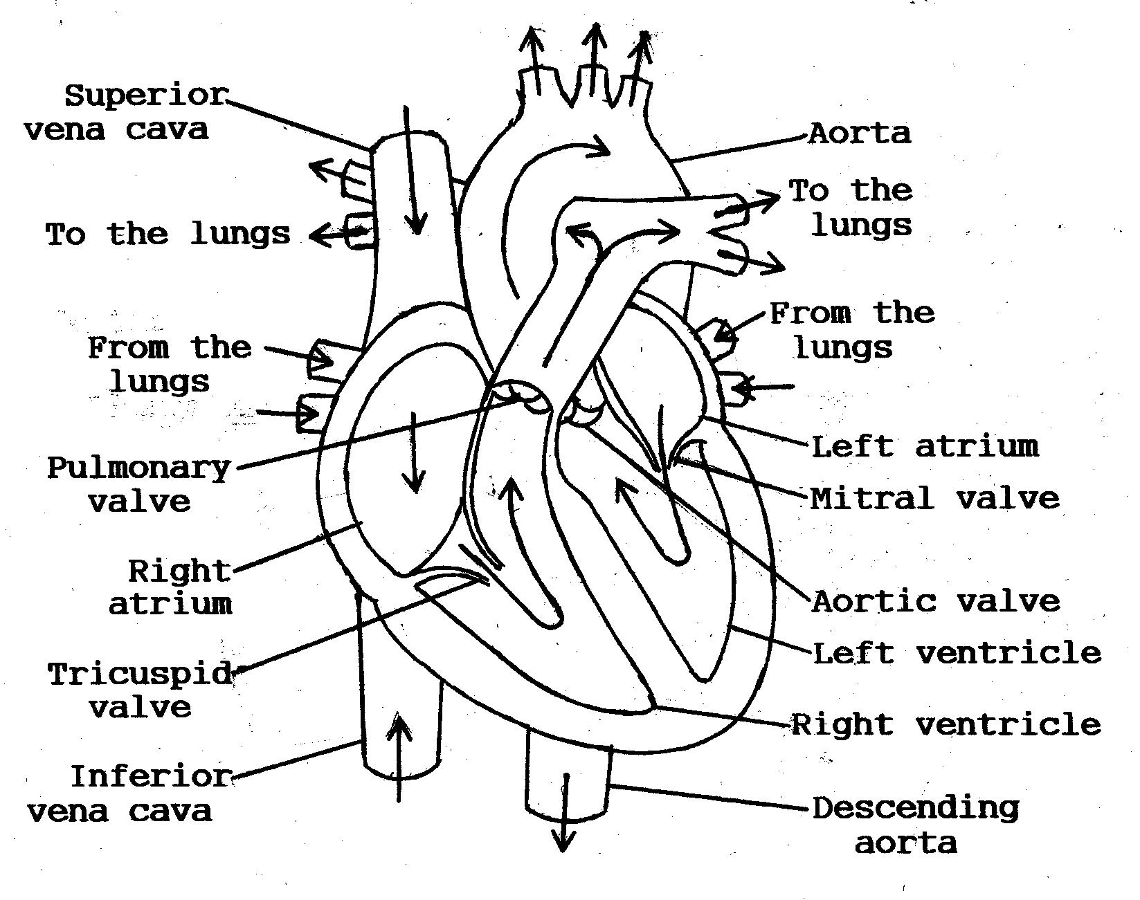 heart anatomy diagram worksheet three ways switch switches 11 best images of blank with word