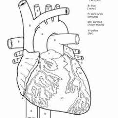 Dog Vital Organs Diagram 7 Pin Flat Trailer Light Wiring 13 Best Images Of Human Heart Worksheet Worksheets - Blood Flow Worksheet, Shape ...