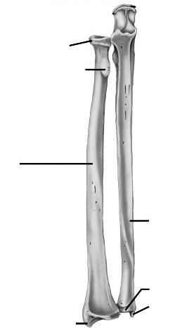 tibia and fibula blank diagram brain stem labeled 16 best images of ulna anatomy worksheet - unlabeled radius bone anatomy, femur ...