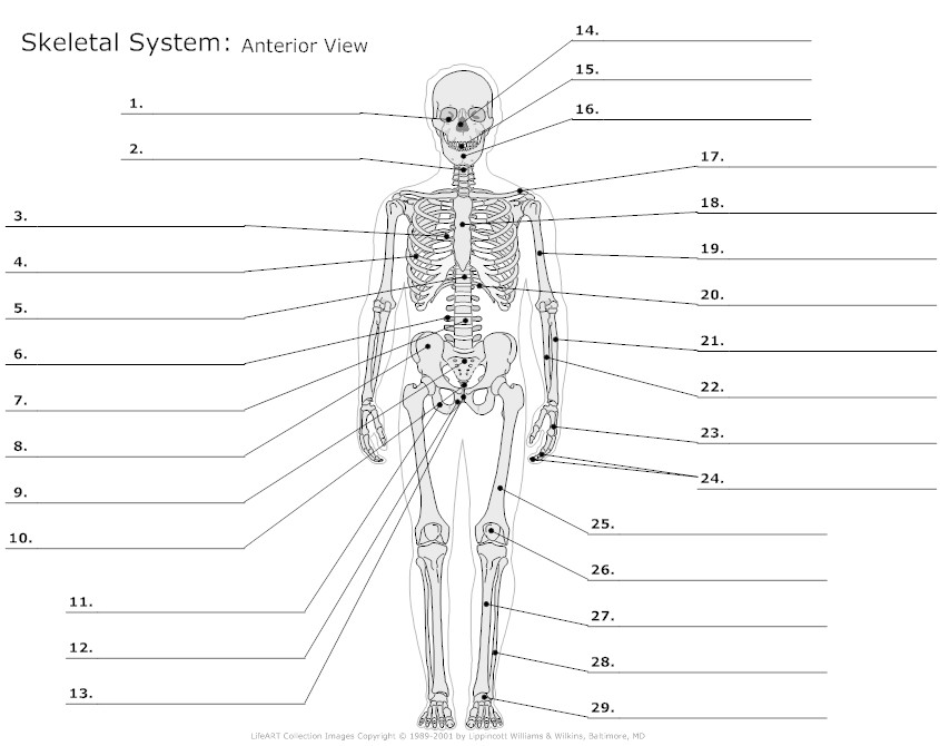 12 Best Images of Muscular System Worksheet Answers