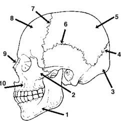 Unlabeled Skull Diagram Inferior View Holden Rodeo Radio Wiring 18 Best Images Of Worksheet - Bones Anatomy Blank Diagram, Human ...
