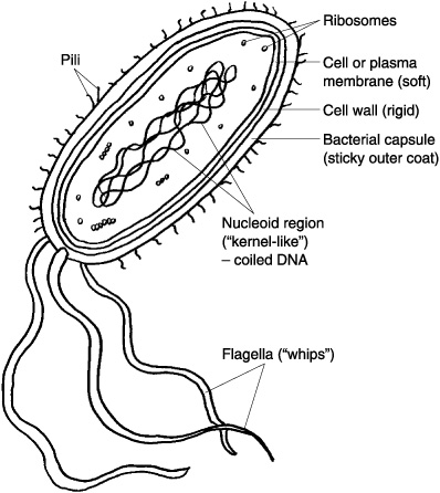 Prokaryote Answer Key Coloring Pages