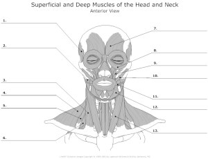 17 Best Images of Worksheets Human Anatomy  Muscular