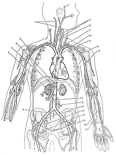 18 Best Images of Heart Anatomy Blood Flow Worksheet