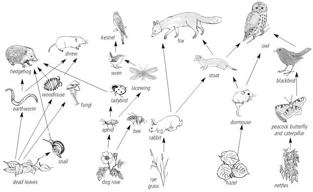 african elephant food chain diagram 1999 ford explorer radio wiring lima stanito com 9 best images of web worksheet elephants drawings