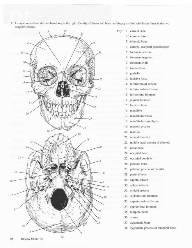 13 Best Images of Skeleton Bones Labeled Worksheets