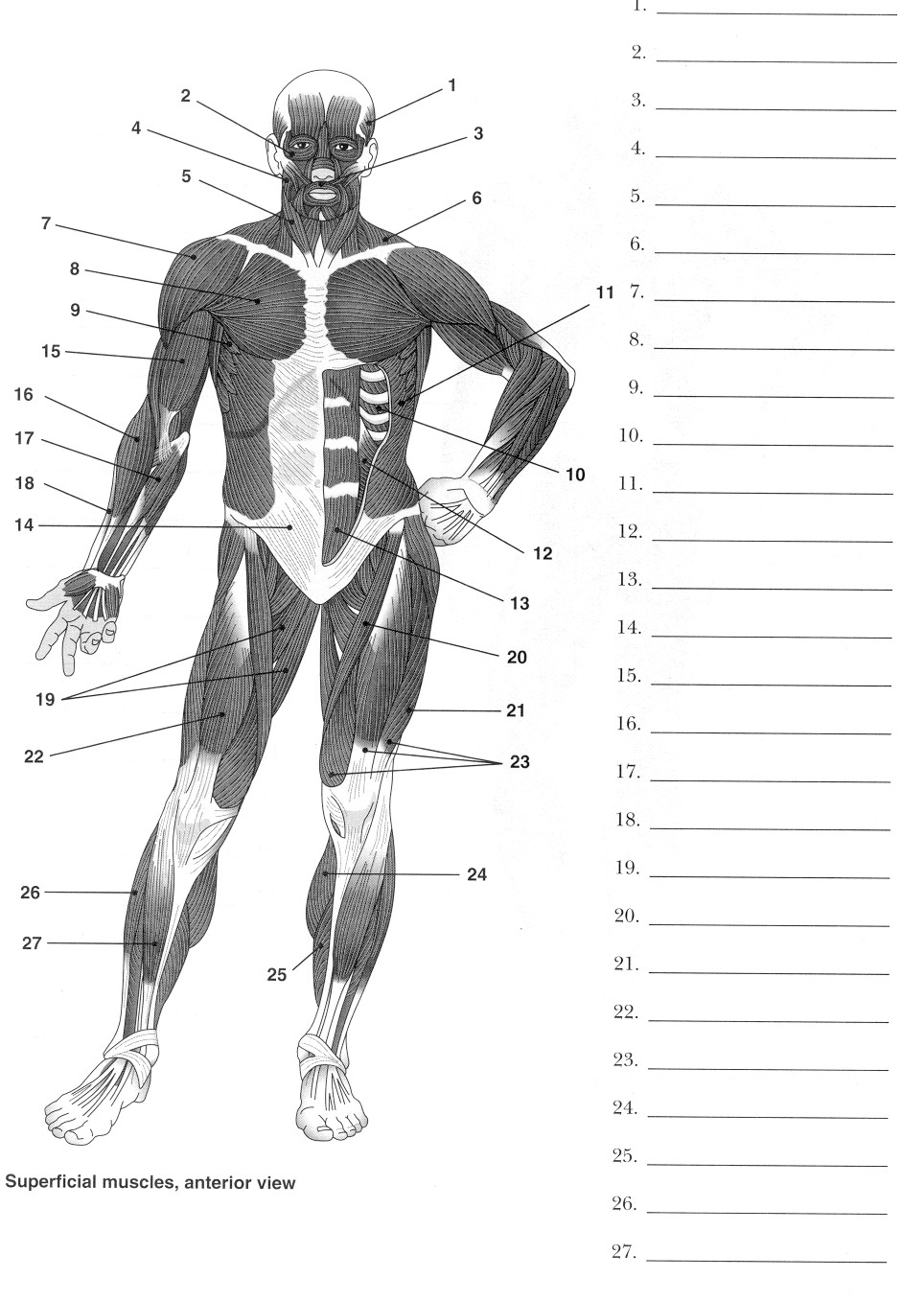 hight resolution of blank muscle diagram worksheet blank muscle diagram via skeletal system diagram worksheet