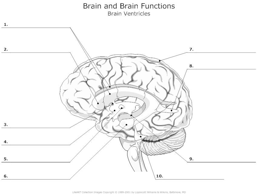 11 Best Images of Nervous System Labeling Worksheets