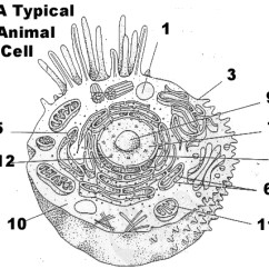 Animal Cell Blank Diagram To Fill In Sense Of Smell 16 Best Images Cells And Organelles Worksheet - Diagram, Plant ...