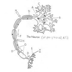 Label Animal Cell Diagram Worksheet Ibanez Rg370 Wiring Nerve Coloring Pages