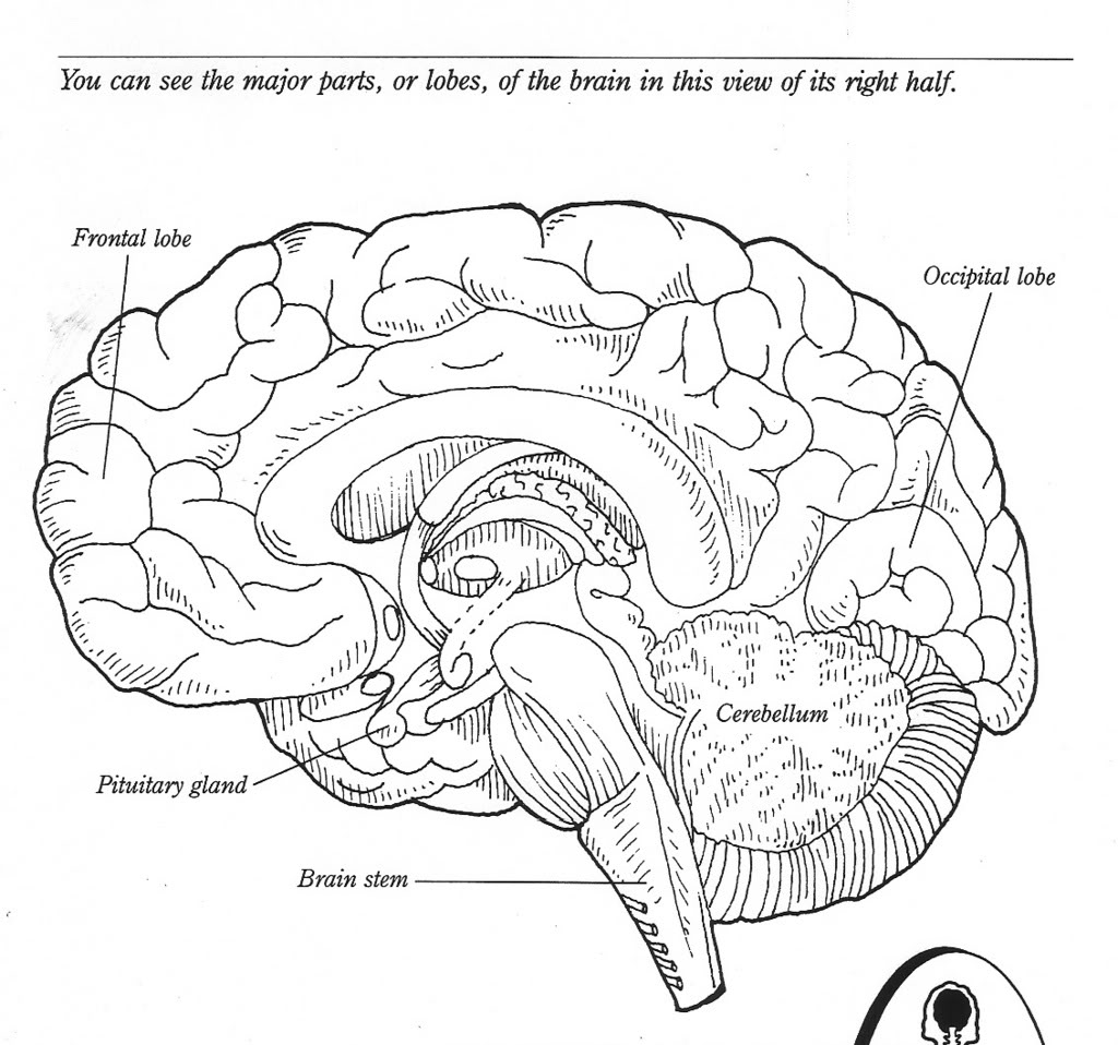11 Best Images Of Cadaver Brain Label Worksheet