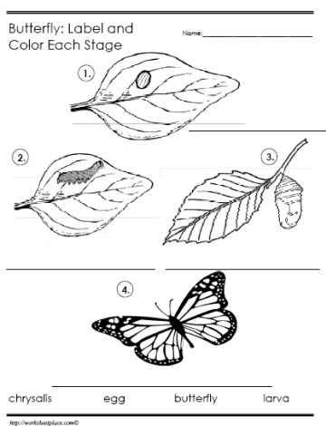 Butterfly Life Cycle Worksheet Preschool