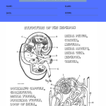 anatomy and physiology coloring worksheets 4